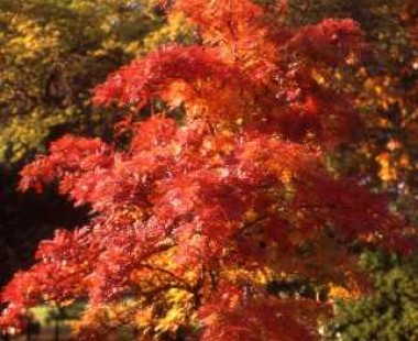Red acer tree